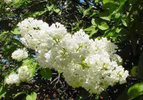 Syringa vulgaris 'Mme Florent Stepman'