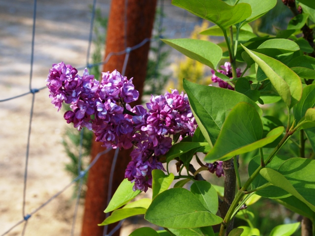 Syringa vulgaris 'Jules Simon'