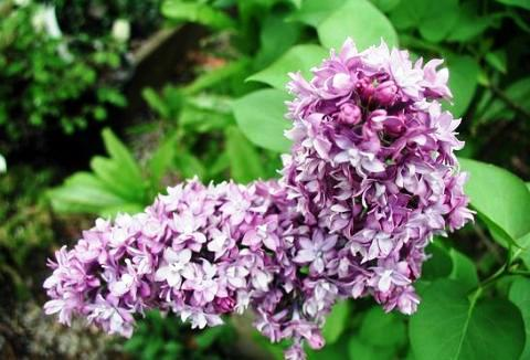 Syringa vulgaris 'Katherine Havemeyer'