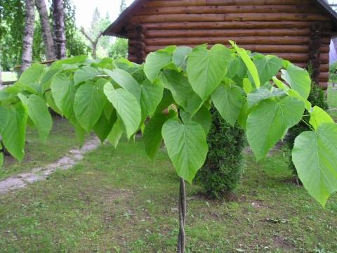Tilia americana 'Pendula'