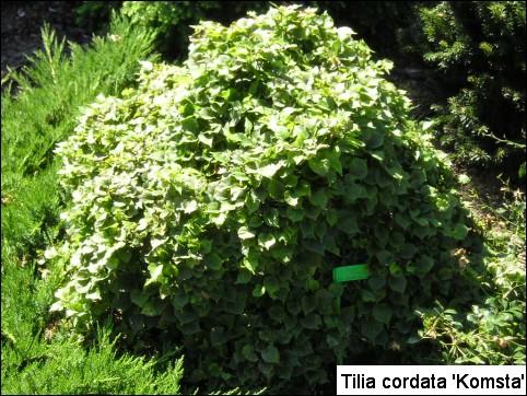 Tilia cordata 'Komsta'