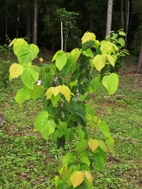 Tilia dasystyla (T. caucasica)
