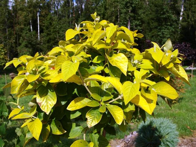 Viburnum lantana 'Aureum'