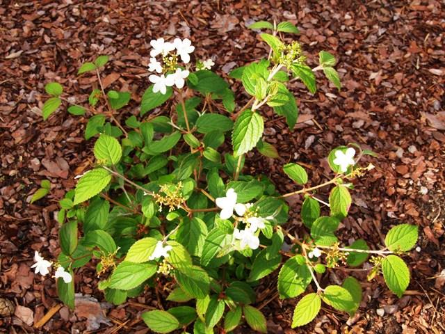 Viburnum plicatum 'Summer Snowflake'