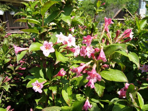 Weigela florida 'Boskoop Glory'