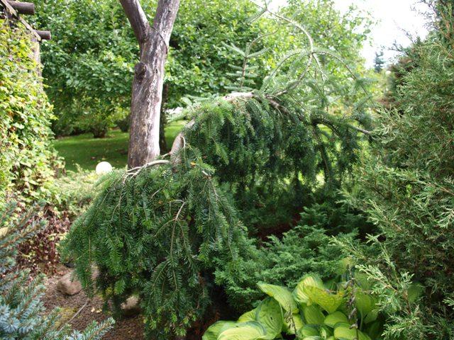 Abies alba 'Green Spiral'