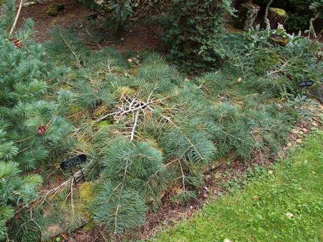 Abies concolor 'Gable's Weeping'