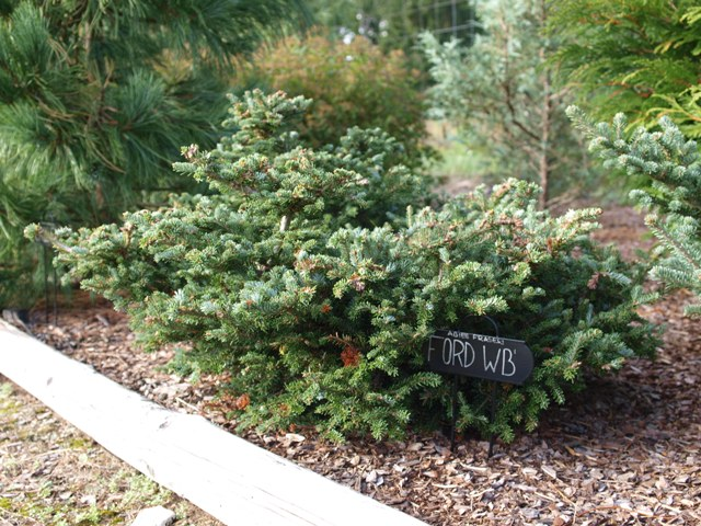 Abies fraseri 'Ford WB'