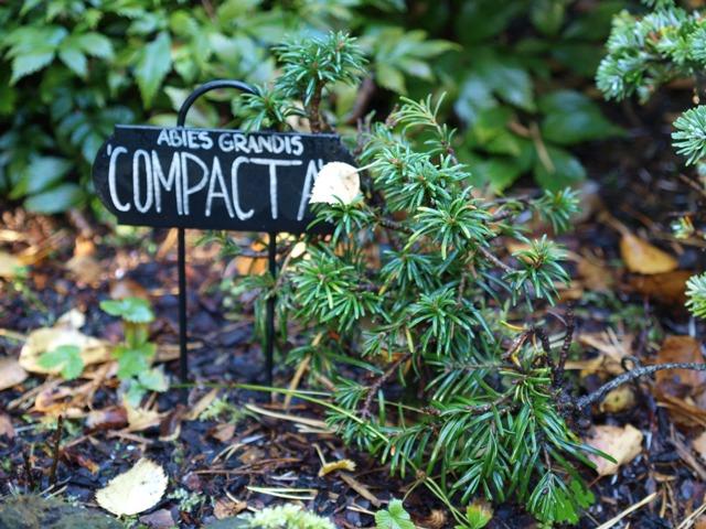 Abies grandis 'Compacta'