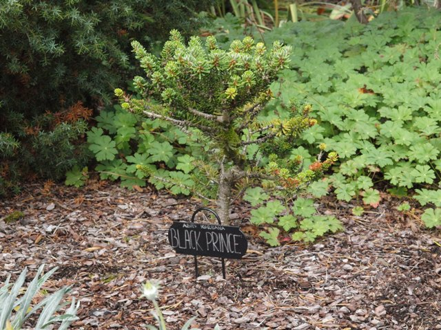 Abies koreana 'Black Prince'