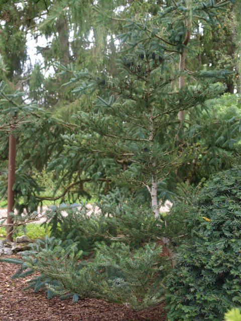Abies koreana 'Blue Star'