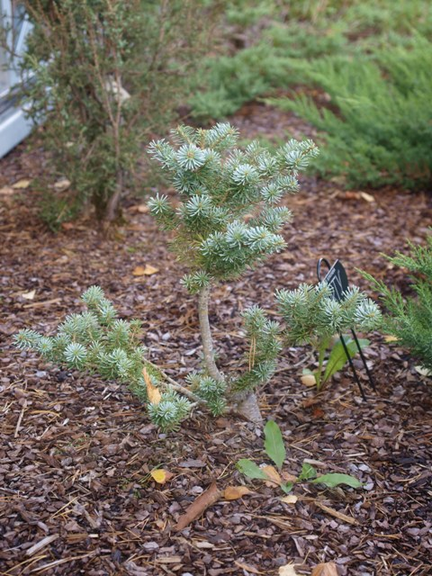 Abies koreana 'Shorty'