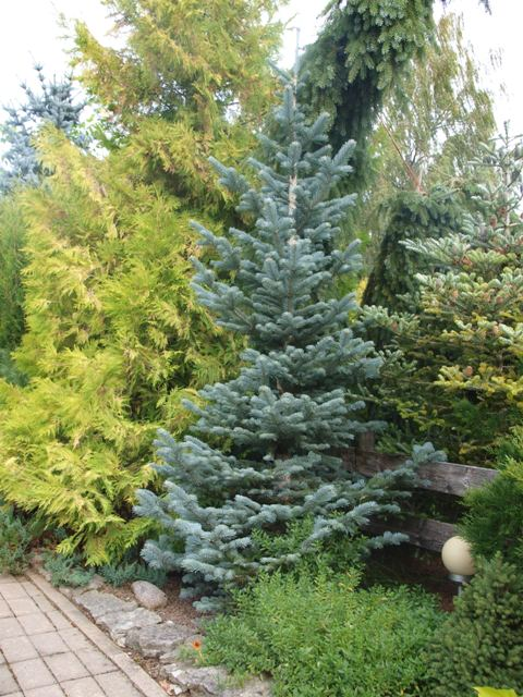 Abies lasiocarpa 'Kenwith Blue'