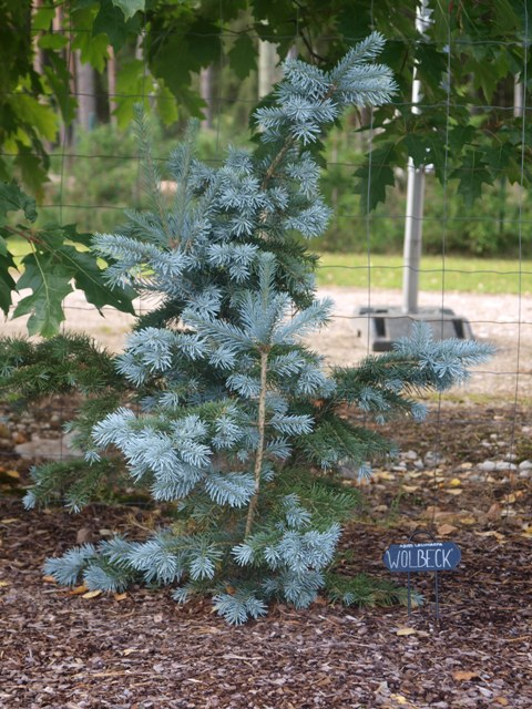 Abies lasiocarpa 'Wolbeck'