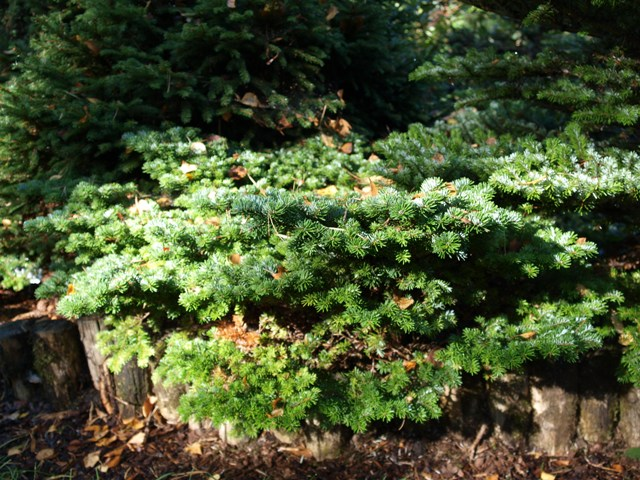 Abies veitchii 'Haltern'