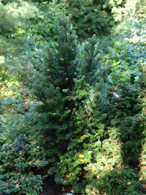 Abies veitchii 'Rumburk'