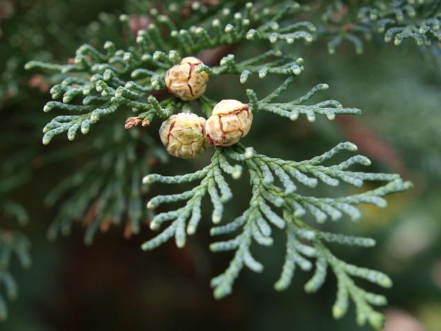 Chamaecyparis lawsoniana 'Felix'
