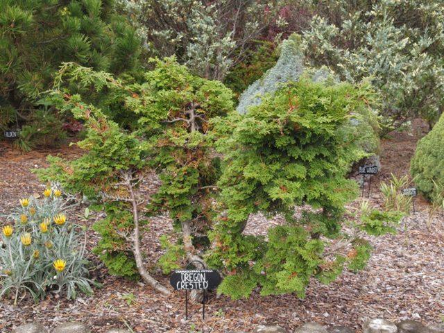 Chamaecyparis obtusa 'Oregon Crested'