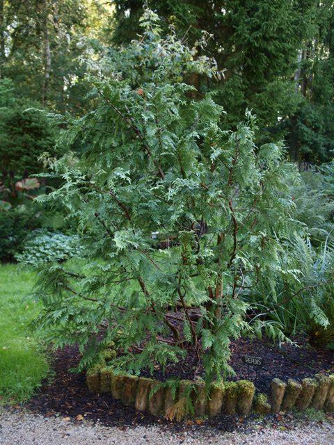 Chamaecyparis pisifera 'Repens'