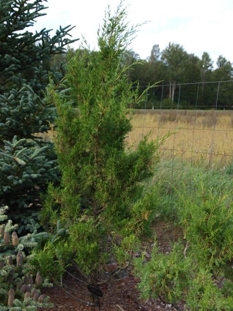 Juniperus chinensis 'Templar'
