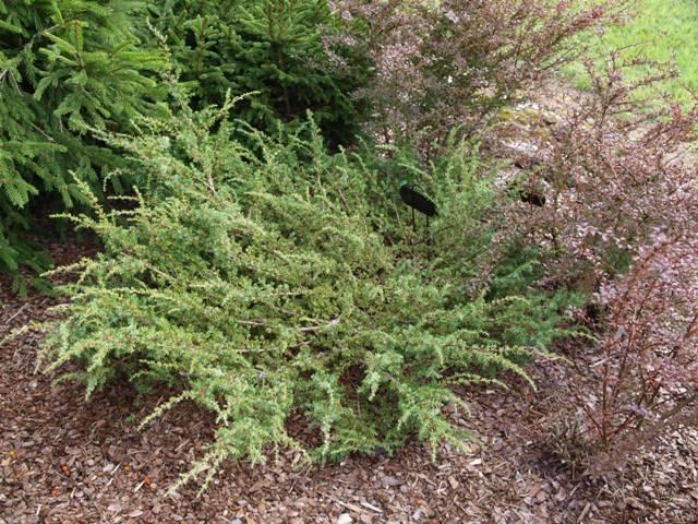 Juniperus communis 'Barton'