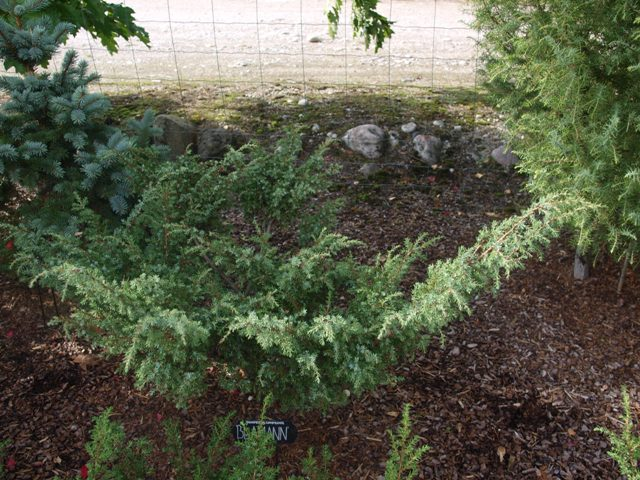 Juniperus communis 'Blåmann'