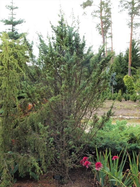 Juniperus communis 'Bukken Bruse'