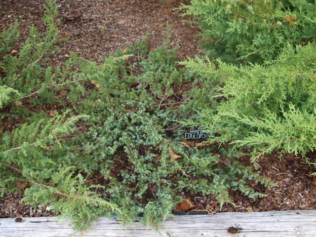 Juniperus communis 'Edgbaston'