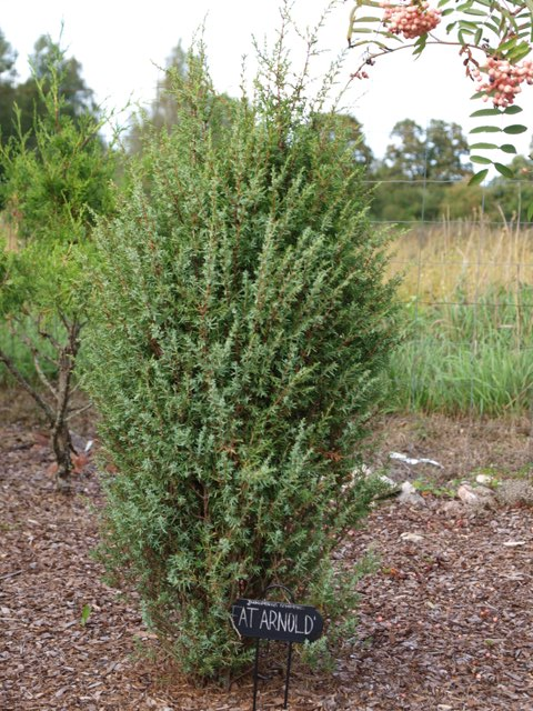 Juniperus communis 'Fat Arnold'