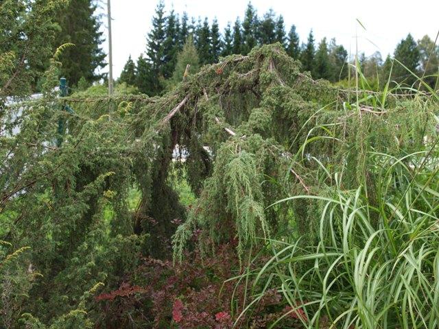 Juniperus communis 'Horstmann Pendula'