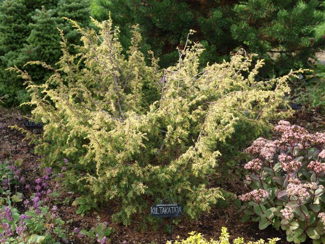 Juniperus communis 'Kultakataja'