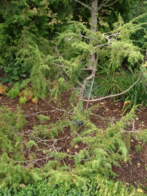 Juniperus communis 'Spicata'