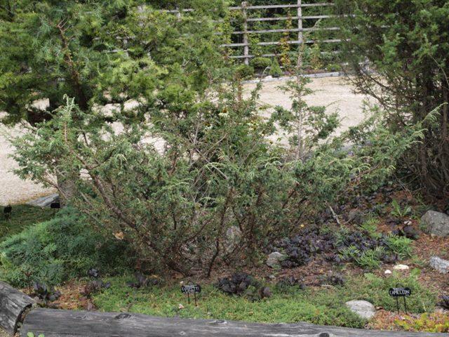 Juniperus communis 'Tora'