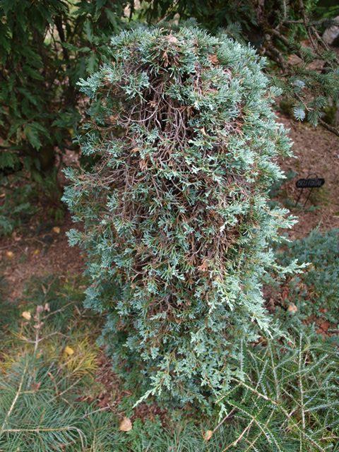Juniperus horizontalis 'Icee Blue®'