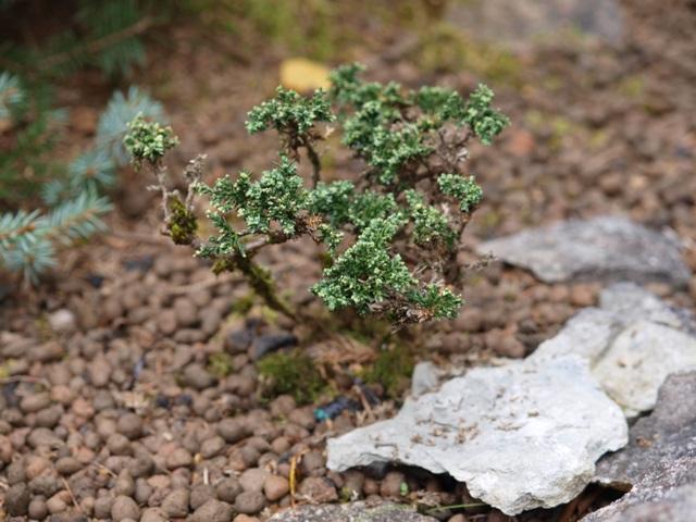 Juniperus horizontalis 'Neumann'
