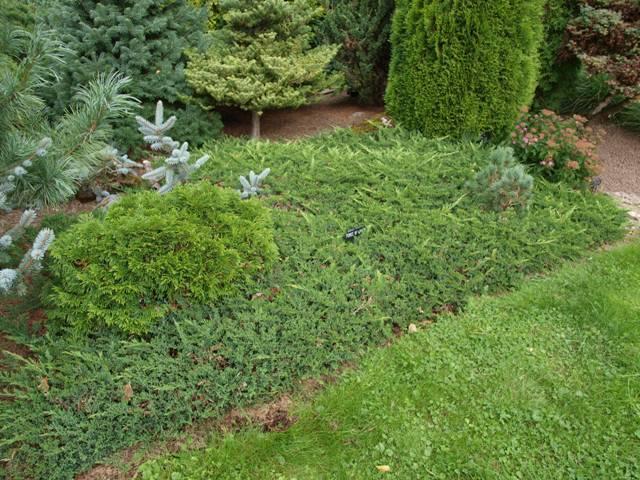 Juniperus horizontalis 'Prince of Wales'