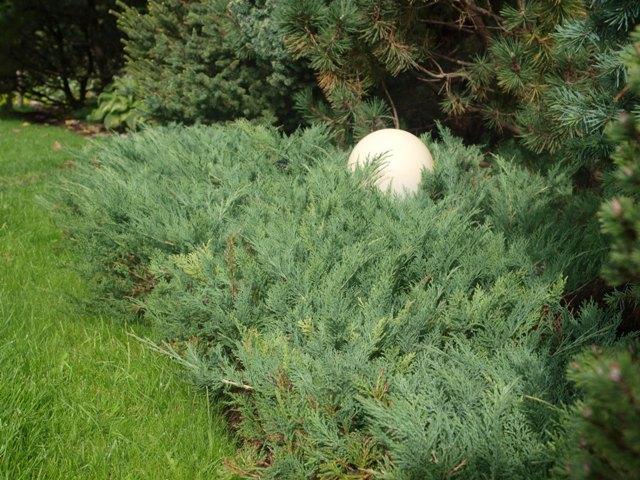 Juniperus horizontalis 'Venusta'