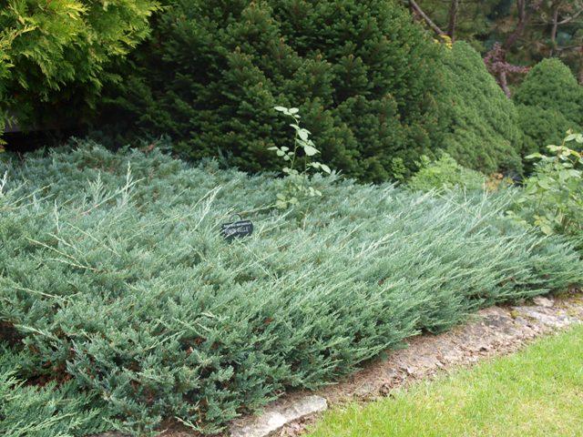 Juniperus horizontalis 'Yukon Belle'