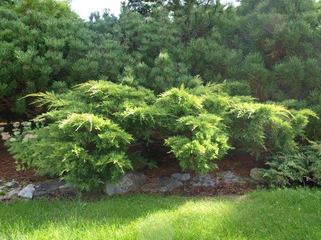Juniperus x media 'King of Spring'