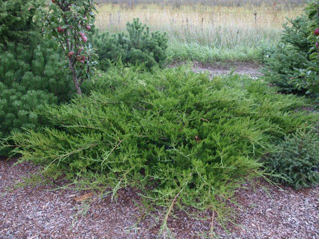 Juniperus sabina 'Arcadia'