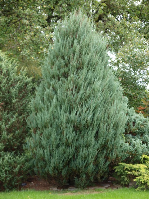 Juniperus scopulorum(J. virginiana) 'Blue Arrow'