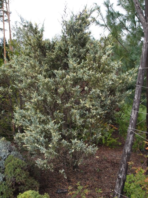 Juniperus scopulorum 'Snow Fluries'