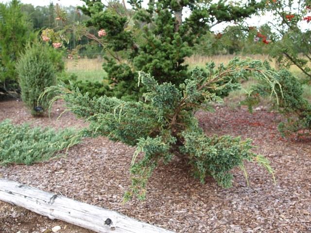Juniperus squamata 'Blue Spider'