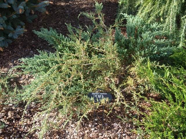 Juniperus squamata 'Denfa Malachit'