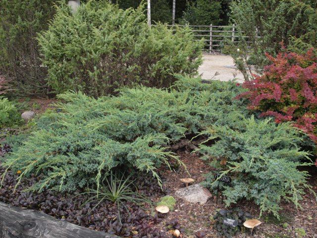 Juniperus squamata 'Filborna'