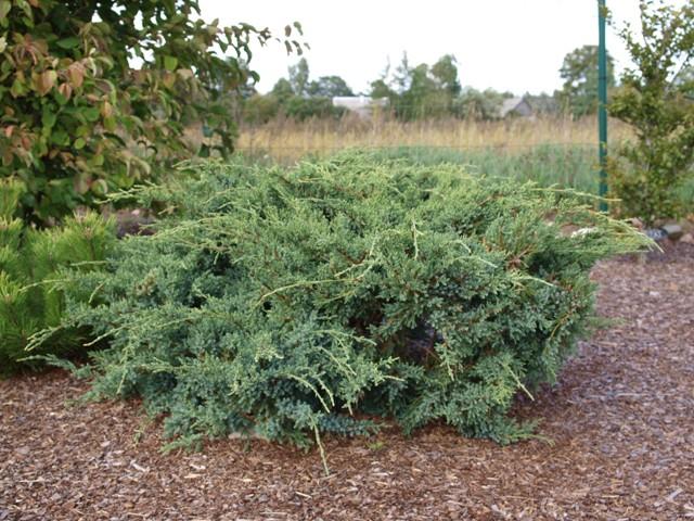 Juniperus squamata 'Holger'