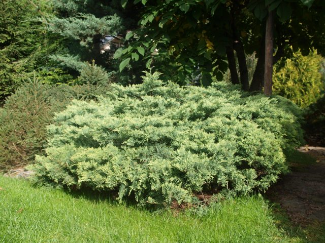 Juniperus virginiana 'Golden Cloud(Golden Spring)'