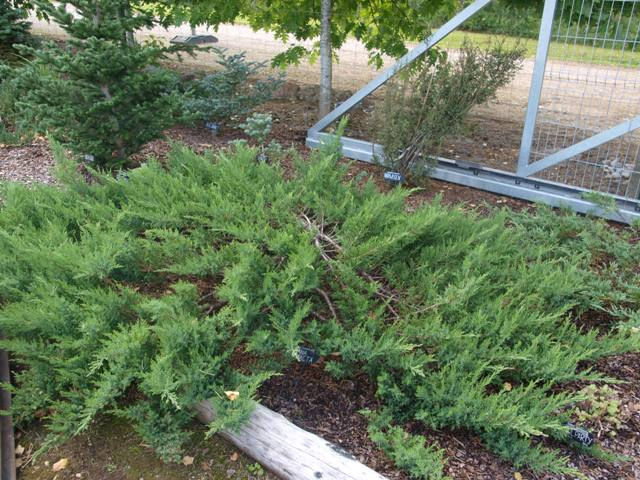 Juniperus virginiana 'Nana Compacta'