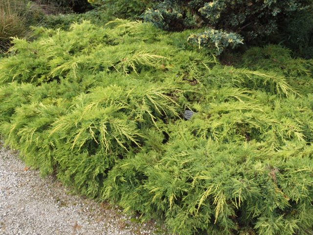 Juniperus x media 'Golden Saucer'