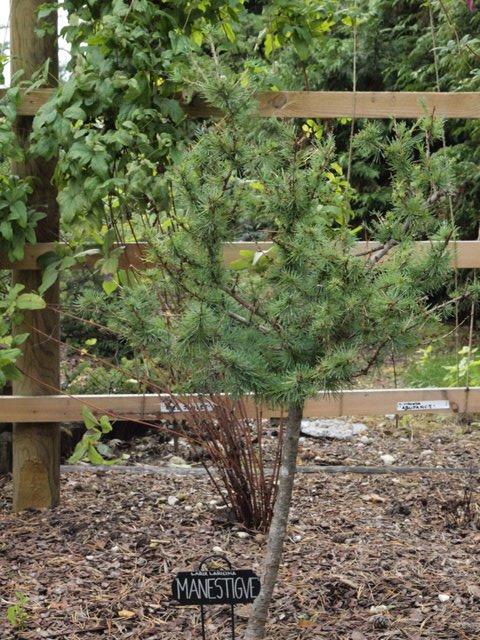Larix laricina 'Manestigve'